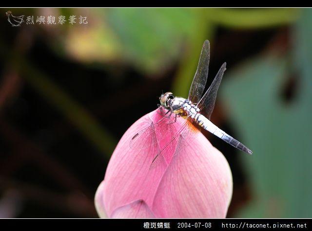 橙斑蜻蜓_12.jpg