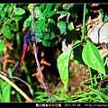 霜白蜻蜓_02.jpg