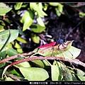 霜白蜻蜓_04.jpg