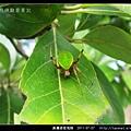 黃邊綠姬鬼蛛_01.jpg