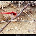 猩紅蜻蜓_10.jpg