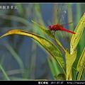 猩紅蜻蜓_11.jpg