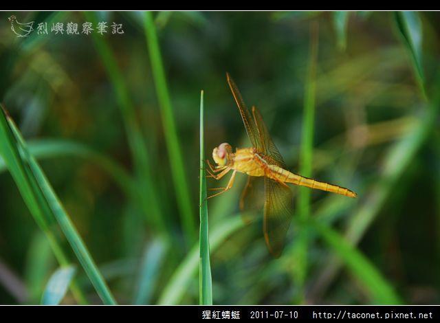 猩紅蜻蜓_12.jpg