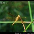 猩紅蜻蜓_13.jpg