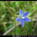 桔梗科-細葉蘭花參_06.jpg