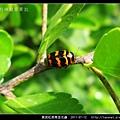 黑斑紅長筒金花蟲_02.jpg