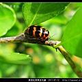 黑斑紅長筒金花蟲_01.jpg