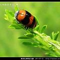 黑斑紅長筒金花蟲_03.jpg