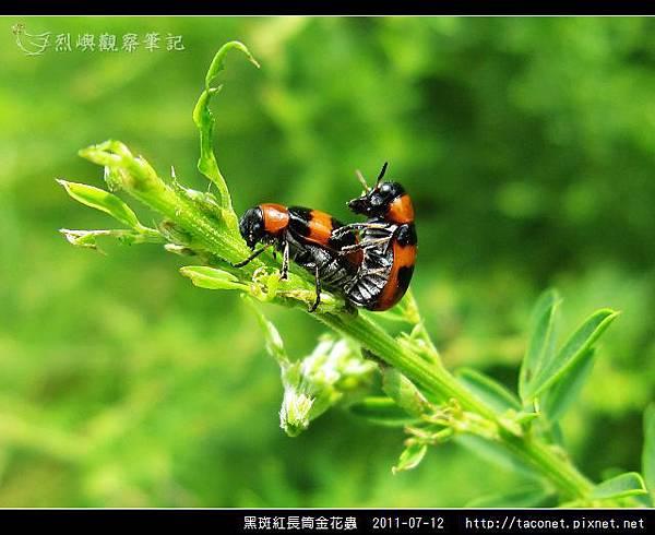 黑斑紅長筒金花蟲_06.jpg