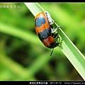 黑斑紅長筒金花蟲_05.jpg