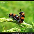 黑斑紅長筒金花蟲_07.jpg