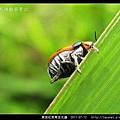 黑斑紅長筒金花蟲_08.jpg