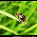 黑斑紅長筒金花蟲_10.jpg