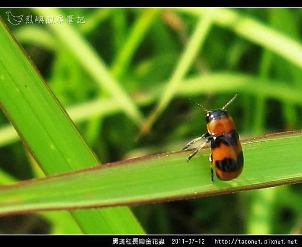 黑斑紅長筒金花蟲_09.jpg