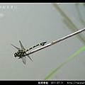 粗鉤春蜓_05.jpg
