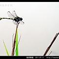 粗鉤春蜓_08.jpg