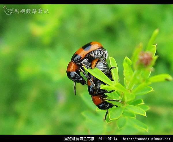 黑斑紅長筒金花蟲-10.jpg