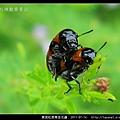 黑斑紅長筒金花蟲-11.jpg