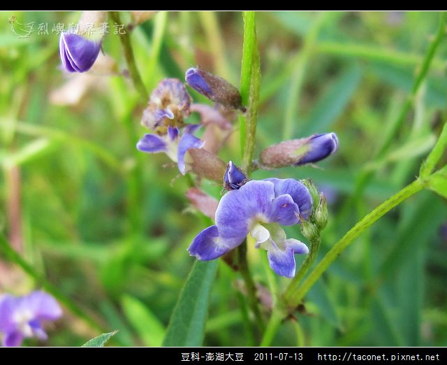 豆科-澎湖大豆_06.jpg