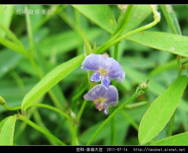 豆科-澎湖大豆_10.jpg