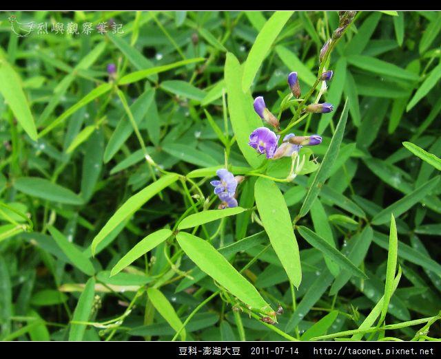 豆科-澎湖大豆_14.jpg
