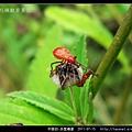 赤星椿象_09.jpg