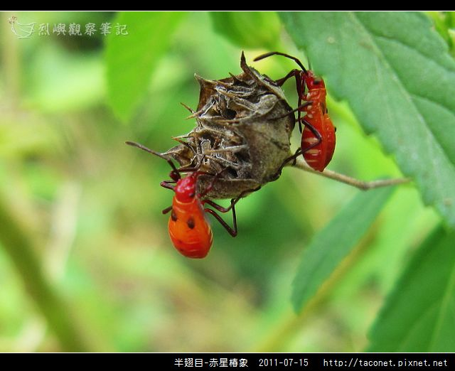 赤星椿象_10.jpg