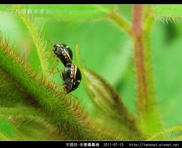 多變圓龜椿_04.jpg