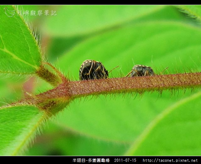 多變圓龜椿_05.jpg