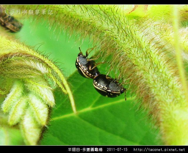 多變圓龜椿_06.jpg