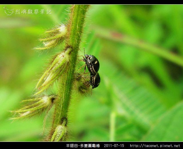 多變圓龜椿_08.jpg