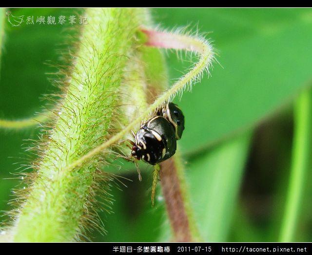 多變圓龜椿_09.jpg