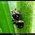 多變圓龜椿_11.jpg