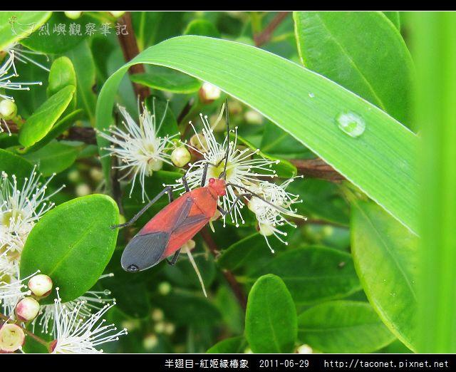 半翅目-紅姬緣椿象_05.jpg
