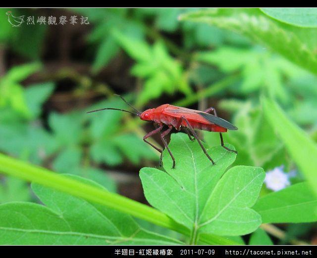 半翅目-紅姬緣椿象_06.jpg