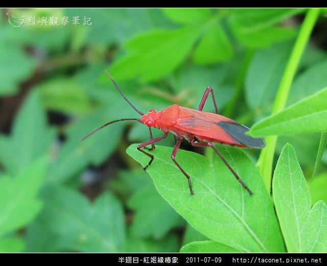 半翅目-紅姬緣椿象_07.jpg