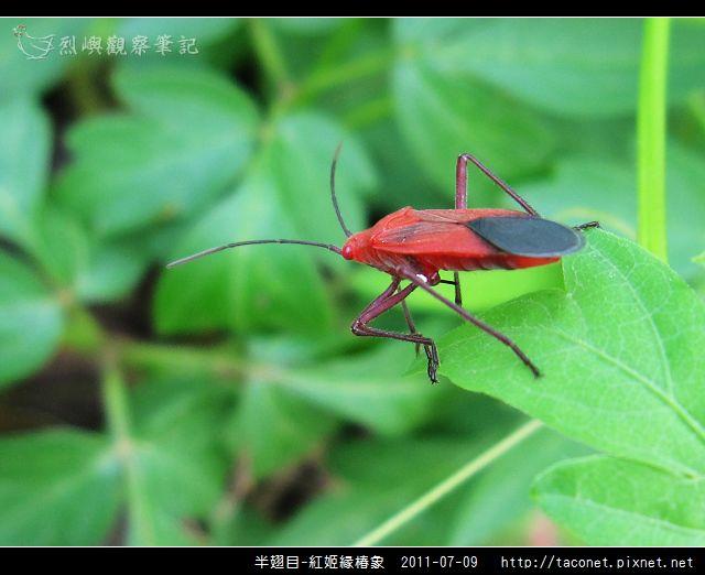 半翅目-紅姬緣椿象_08.jpg