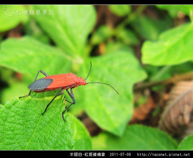 半翅目-紅姬緣椿象_09.jpg