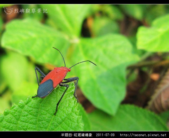 半翅目-紅姬緣椿象_10.jpg