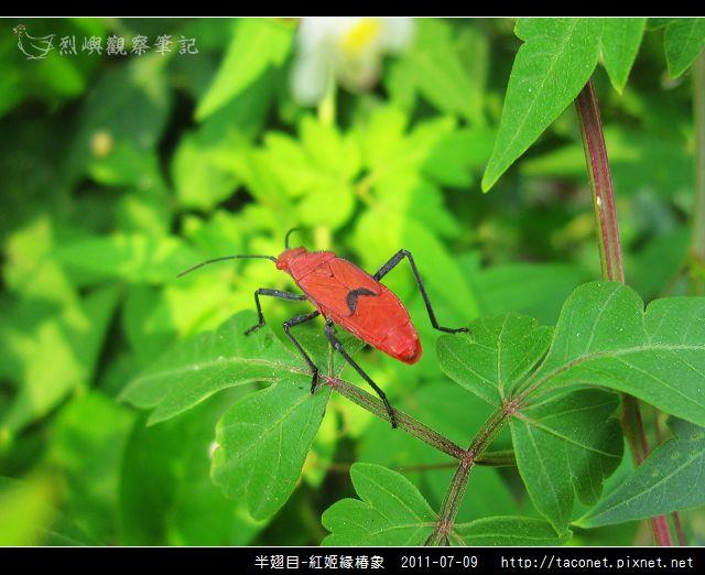 半翅目-紅姬緣椿象_12.jpg