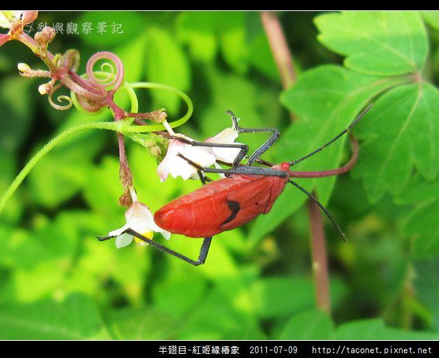 半翅目-紅姬緣椿象_11.jpg