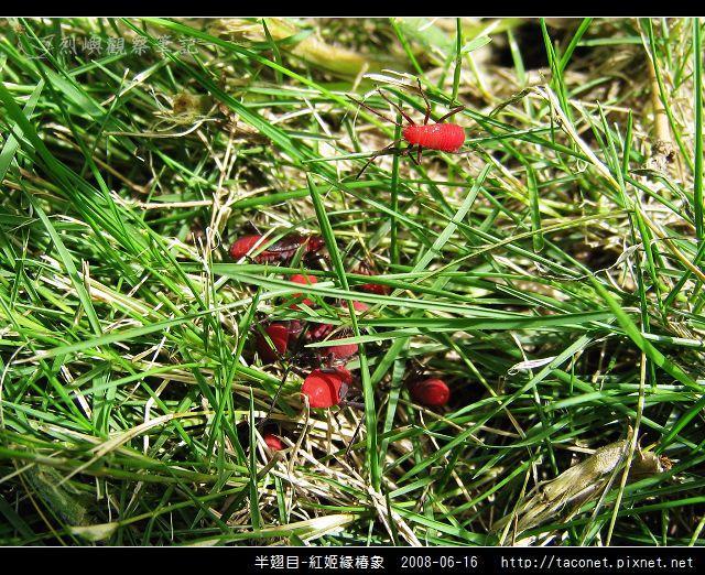 半翅目-紅姬緣椿象_13.jpg