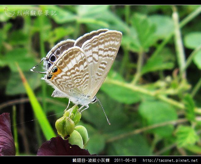 鱗翅目-波紋小灰蝶_02.jpg