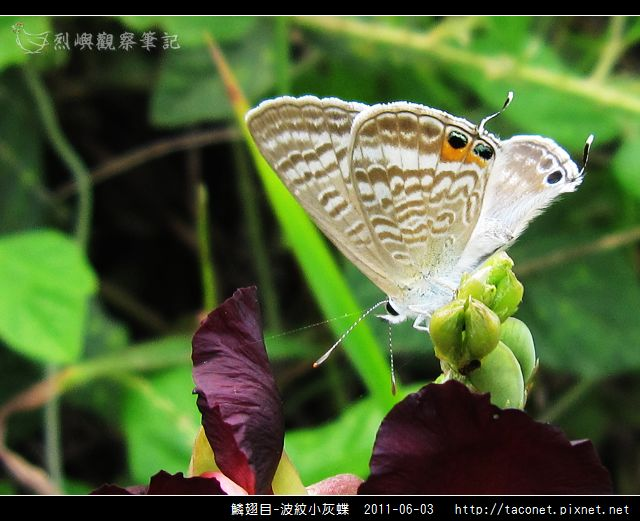 鱗翅目-波紋小灰蝶_03.jpg