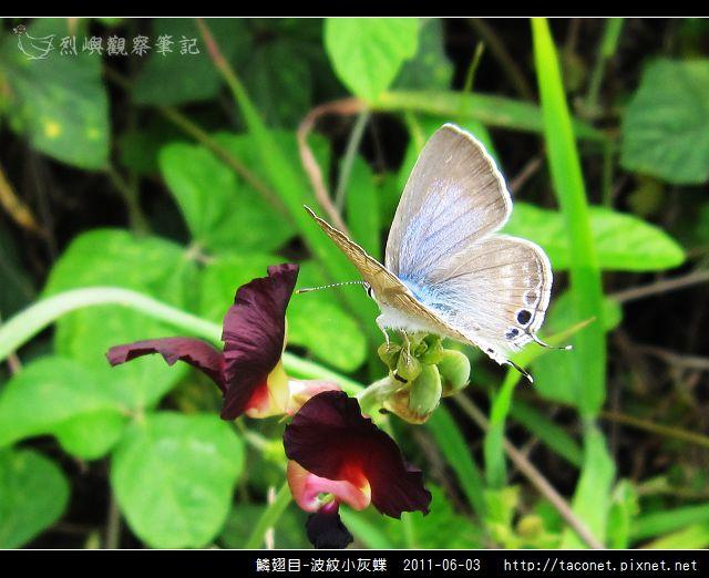 鱗翅目-波紋小灰蝶_05.jpg