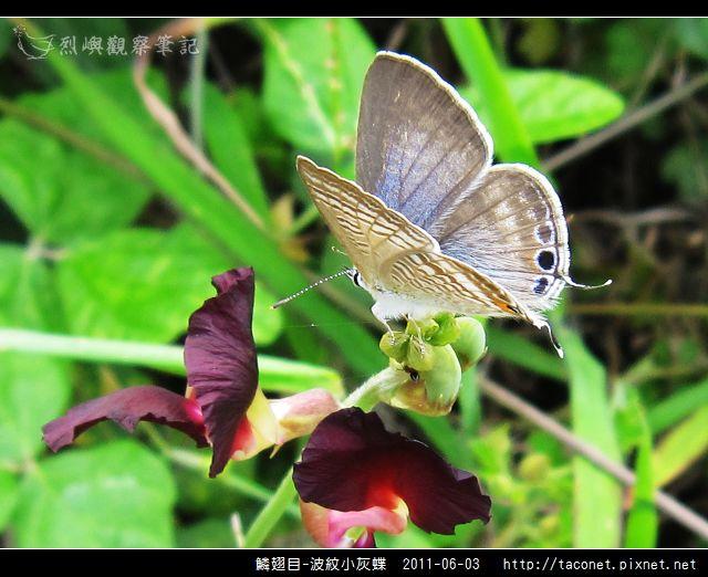 鱗翅目-波紋小灰蝶_04.jpg