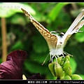 鱗翅目-波紋小灰蝶_07.jpg