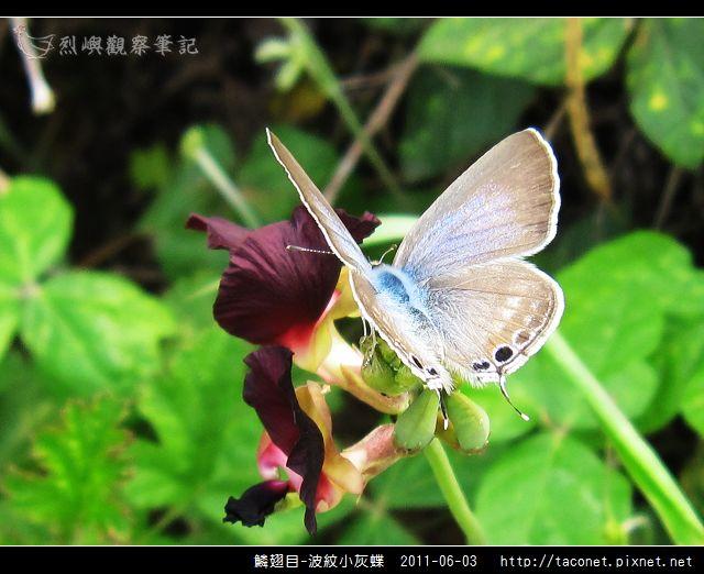 鱗翅目-波紋小灰蝶_06.jpg