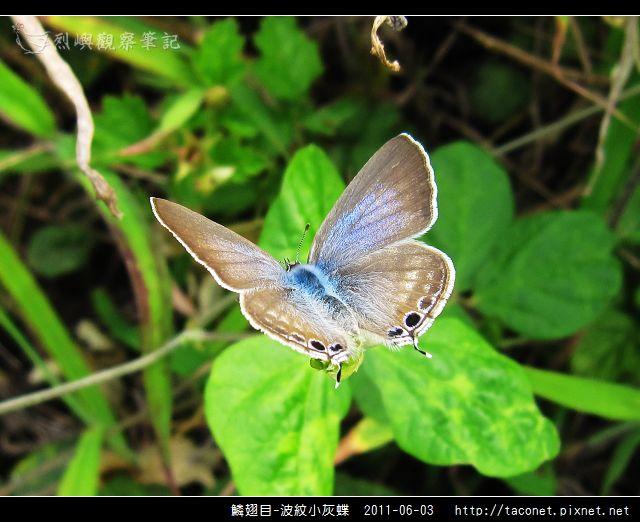 鱗翅目-波紋小灰蝶_09.jpg
