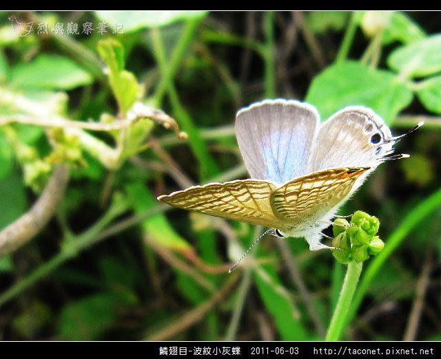 鱗翅目-波紋小灰蝶_08.jpg